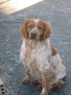 trop beau! TASS est un adorable Epagneul Breton.TASS est né en janvier 2009.Il est très gentil.  Contact : www.unehistoiredegalgos.com