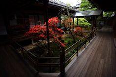 京都妙心寺 大心院の中庭のきりしまつつじ