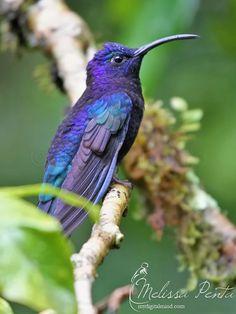 Violet sabrewing hummingbird - 'Violet' by mydigitalmind (Melissa Penta)