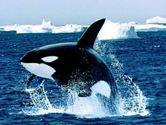 The Killer Whale! What a beautiful creature ~