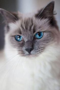 lulu - Blue Point Ragdoll
