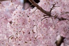 Pink Sakura, Green Fuzzies, some Brass, and a Motorcycle Cop Lost Horizon, Famous Books, Outside World, Bloom, Spring, Shangri La, Flowers, Green, Kyoto Japan