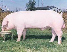 Landrace Pig Breeds | www.utahporkproducers.org