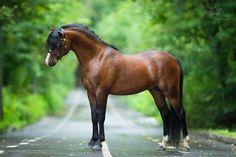 "scarlettjane22: "" Welsh pony (pony farm Hidalgo) Photo by: Alexia Khruscheva - equestrian photography """