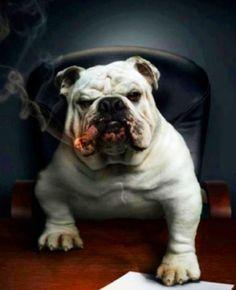 English Bulldog Pictures, Bulldog Pics, Bulldog Puppies, English Bulldogs, Bulldog Images, British Bulldog, French Bulldog, Bulldogs Ingles, Cute Bulldogs