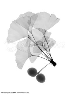 An x ray of ginko leaves