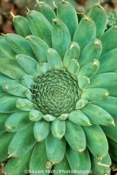 "green...""Sunflower"" hardy succulent Orostachys spinosa"