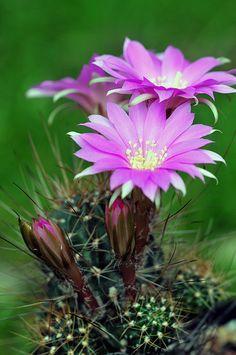 Lobivia acchaensis me encantan estos cactos... hay en tantos hermosos colores!