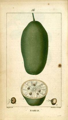 Dessins anciens de plantes médicinales Flore médicale illustrée par des gravures en couleur