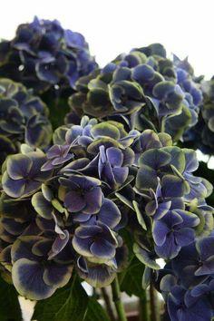 Hortensia Hydrangea, Hydrangea Garden, Hydrangea Flower, Green Hydrangea, Flowering Shrubs, Trees And Shrubs, Trees To Plant, Blue Garden, Dream Garden