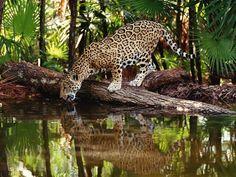 Tapety na plochu zvířata, jaguár americký, palmové, pít vodu.