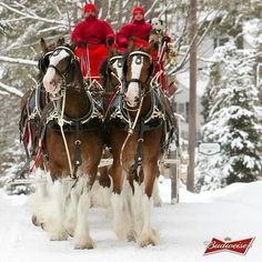 Budweiser Clydesdales for Christmas *-* Big Horses, White Horses, Horse Love, Beautiful Horses, Animals Beautiful, Clydesdale Horses Budweiser, Funny Animals, Cute Animals, Draft Horses