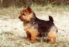 Raza Norwich Terrier