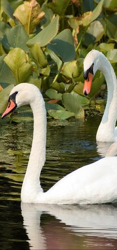 Trumpet Swan - Waterfowl