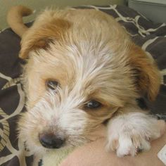 What a sweet gaze! Venecia is looking for her forever family in #SanDiego - she's up for #adoption now! She is a Shepherd/Terrier blend #puppy.