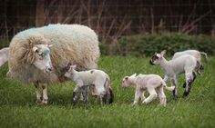 Guardian: Schmallenberg virus could spread across most of UK this year