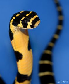 Chinese King Cobra by viperskin on Flickr