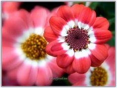Sineralya Çiçeğinin Yetiştirilmesi, Bakımı, Çeşitleri, Hastalıkları - Sayfa 2 - Forum Gerçek