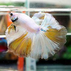 Betta-Male-Fancy-RARE-PATTERN Beautiful White Pearl Yellow HM
