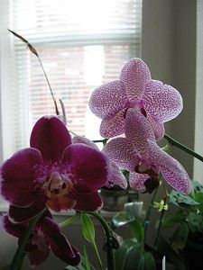 Tips for Getting Orchids to Rebloom. Click the link to read more!