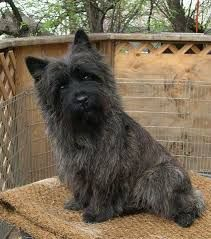 Image result for cairn terrier This looks a lot like my Duncan. So cute.