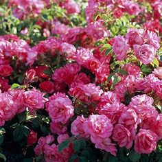 Who knew roses could be so easy to grow! Pick from these easy-to-grow rose varieties for the best blooms all season long.