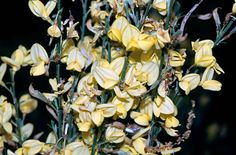 We have our own broom in this town too: Cytisus × praecox Warminster