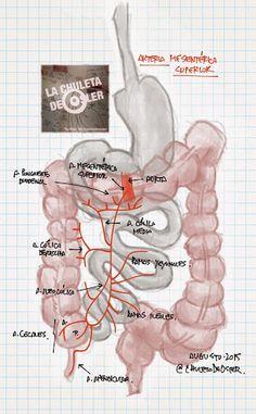 La Chuleta de Osler: Anatomía, Gastroenterología - Irrigación del aparato digestivo en cavidad peritoneal