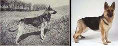 The German Shepherd Dog is also a breed that is routinely mentioned when people talk about ruined breeds; maybe because they used to be awesome. In Dogs of All Nations, the GSD is described as a medium-sized dog (25 kg /55 lb), this is a far cry from the angulated, barrel-chested, sloping back, ataxic, 85-pounders  (38 kg) we are used to seeing in the conformation ring. There was a time when the GSD could clear a 2.5 meter (8.5 ft) wall, that time is long gone.