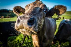 Biohof Silberbauer: Fleisch vom Angus Rind hier bestellen - Oberösterreich Angus Rind, Cow, Animals, Dog Food, Rib Roast, Free Range, Cattle, Animais, Animales