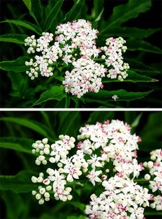 Elderflower, Flowers, Plants, Gardening, Vegetarian, Meals, Canning, Tips, Lawn And Garden