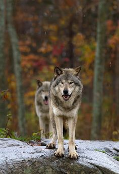Photo Double Trouble -Timber Wolf by Jim Cumming on Beautiful Creatures, Animals Beautiful, Cute Animals, Baby Animals, Wolf Spirit, Spirit Animal, Tier Wolf, Of Wolf And Man, Fennec