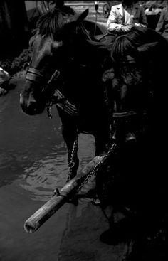 Származási helye » Helység: Gyergyószentmiklós (Gheorgheni) » Megye: Hargita (Harghita)  Készítés ideje: 1960--06--00 Készítette: Vámszer Géza Lelőhely: Kriza János Néprajzi Társaság fotóarchívuma Horses, Animals, Animales, Animaux, Animal, Animais, Horse