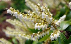 Japaninkellovaivero - Pieris japonica japaninkellovaivero kasvi pensas kevät kevätkukkija kellomainen valkoinen kukka kukat keväinen kukinta kukkarivi monivuotinen puutarhakasvi puutarha