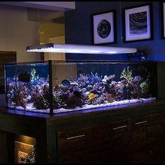 Urbanek's 250G tank #acropora #aquarium #amazingcoral #allmymoneygoestocoral #coral #coralfrag #coralporn #reefing #frag #frags #idfragthat #reef #reeflife #reeftank #reef2reef #reeferdise #saltlife #fishtankmaintenance #waterchange #maintenance #showtank #fishtanks #eatsleepreef #coraladdict #coralfreaks #coraltank #aquaculture