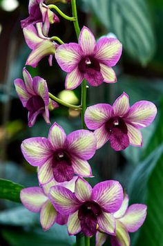 ✯ Orchid 1908 .. By Andy Small✯