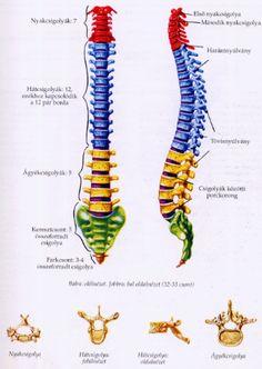 Térkép: Csigolya Térkép Arm, Human Body, Arms