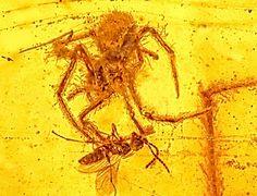 Fóssil raro preservou um momento de terror ocorrido há 100 milhões de anos, no período Cretáceo: uma aranha prestes a atacar sua presa.  Uma vespa que de repente se viu presa em uma teia de aranha.  Além do pesadelo da pobre vespa, o âmbar capturou uma situação curiosa: na mesma teia, havia outra aranha, e ambas eram machos – vale lembrar que as aranhas não são conhecidas por serem amigáveis com seus visitantes (mesmo que sejam da mesma espécie).