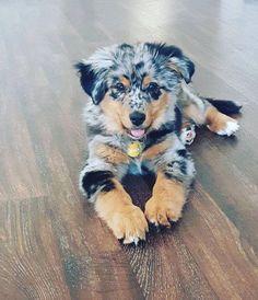 Aussie Shepherd, Australian Shepherd Mom, Aussies, Aussie Dad, Australian She. Super Cute Puppies, Cute Dogs And Puppies, Baby Dogs, Pet Dogs, Adorable Dogs, Doggies, Puppies Tips, Cutest Dogs, Baby Puppies