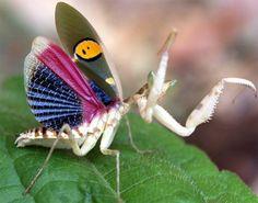 praying mantis. Dosn't look like any praying mantis I've ever seen