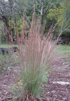 Schizachyrium scoparium or Andropogan scoparium (Little Bluestem warm season grass)