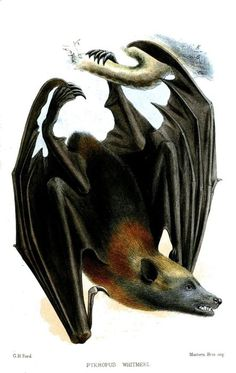 The Samoa flying fox (Pteropus samoensis), also known as the Samoan flying fox, is a species of megabat that can be found in Samoa, American Samoa, and Fiji. Hammerhead Shark Tattoo, Bat Species, Fruit Bat, Vampire Bat, Vintage Drawing, Creatures Of The Night, Character Design Animation, Zoology, Sacred Art