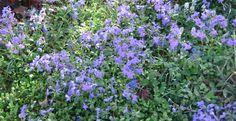Phlox stolonifera 'Sherwood Purple'.
