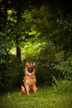 "Alta Tollhaus Hazel ""Lola"" German Shepherd Dog Puppy"