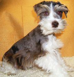 Mini schnauzer puppy... Just adorable