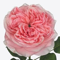 Rose London Eye is a lovely Pink cut flower. As a rule of thumb, the taller the stem the larger the flower head & longer the vase life. July Flowers, Rose Thorns, Most Popular Flowers, Wholesale Roses, Florist Supplies, Flower Food, Flowers Delivered, Plastic Flowers, London Eye