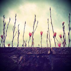 Magnolias, Stockbridge, Edinburgh.