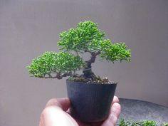 盆栽:簡単にシンパク の画像 春嘉の盆栽工房