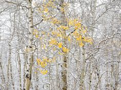 Fall Birch Stretched Canvas Print by Andrew Geiger at Art.com - Many sizes, photo or canvas