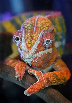 This panther chameleon is the unofficial greeter at the Living Coast Discovery Center in Chula Vista, California. Chameleon Changing Color, Chameleon Care, Chameleon Lizard, Chameleon Tattoo, Karma Chameleon, Chameleon Nails, Cute Reptiles, Reptiles And Amphibians, Funny Animals